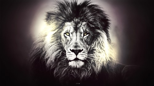 Lions Images Lion Wallpaper And Background Photos 40455249