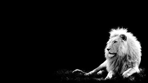Lions پیپر وال titled Lion
