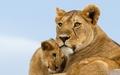 Lions - lions wallpaper