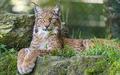 Lynx - lynx-cat photo
