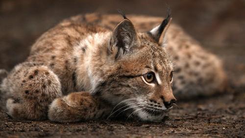 Lynx cat wolpeyper titled Lynx
