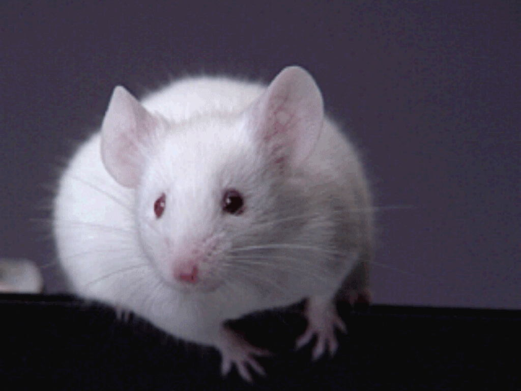 Mice Images Mouse HD Wallpaper And Background Photos
