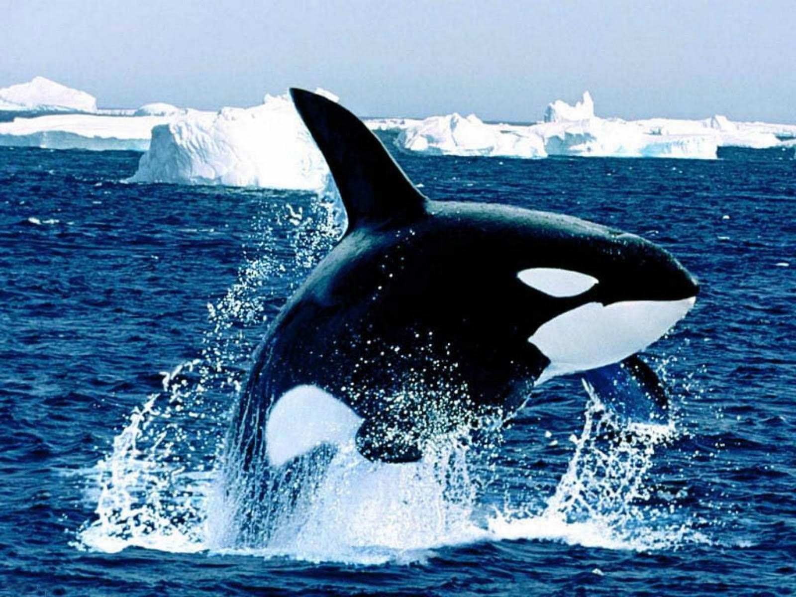 Orca Whales Images HD Wallpaper And Background Photos