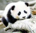 Panda baby    - pandas photo