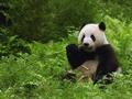 Panda - pandas wallpaper