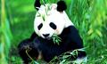 Panda - pandas photo