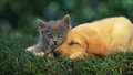 Puppy and Kitten - dogs wallpaper