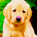 Puppy - dogs icon