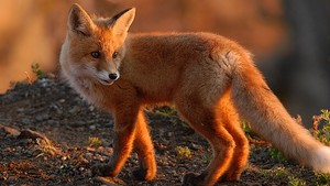Red cáo, fox