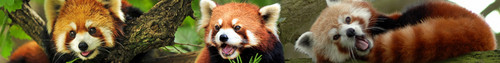 Red Pandas litrato entitled Red Panda Banner
