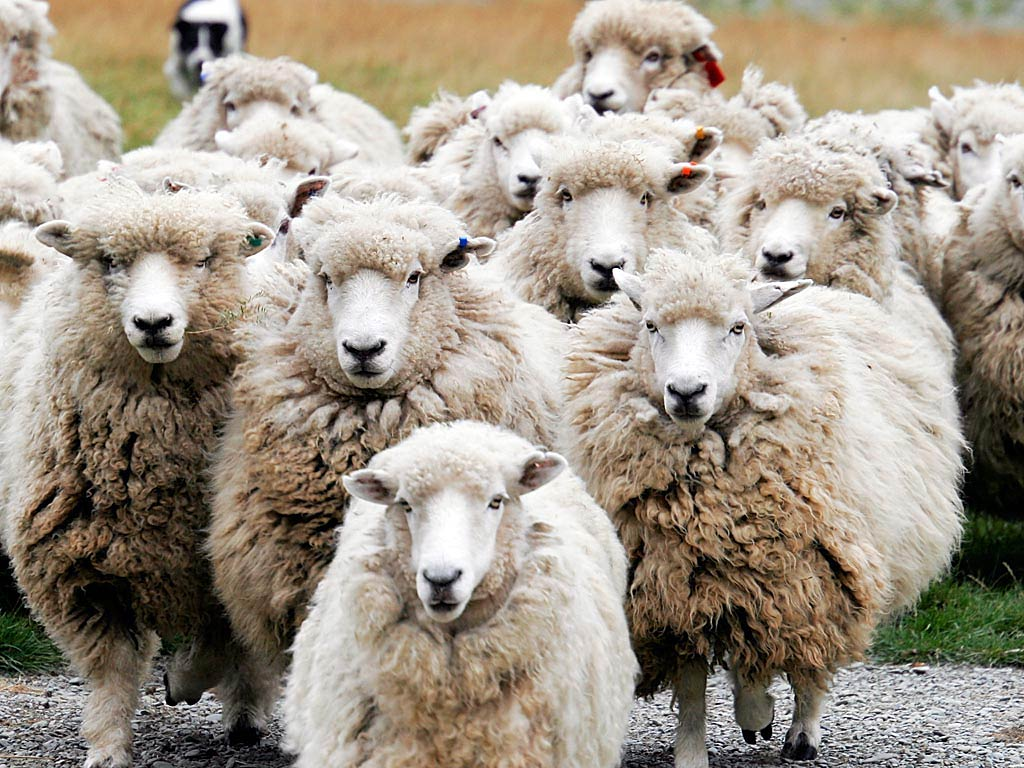 Sheep Images HD Wallpaper And Background Photos