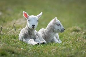 pecora, pecore