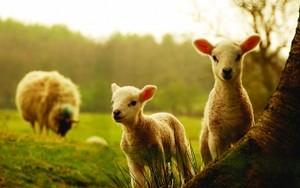 овца, овцы