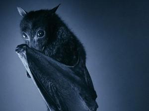 Shy Bat