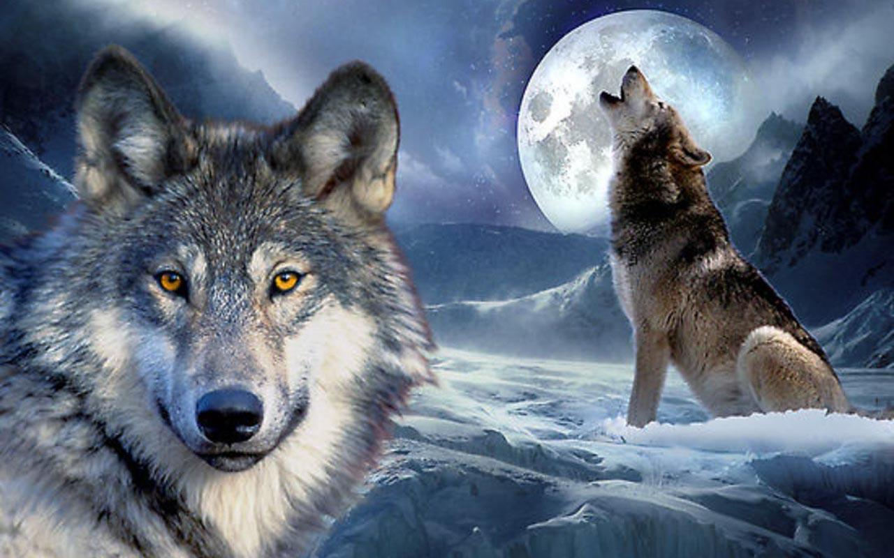 wolves images wolves hd wallpaper and background photos 40487487