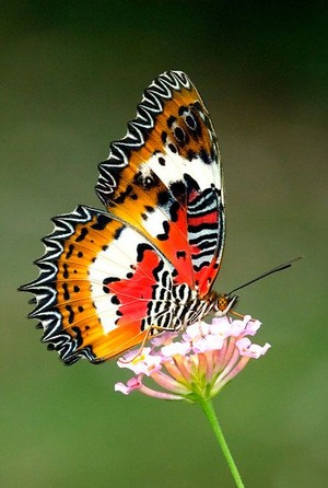 Beautiful schmetterling