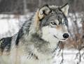 Beautiful Grey Wolf - wolves photo