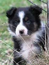 Border collie Pup