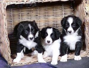 Border collie cachorrinhos