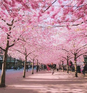 체리 Blossom Avenue in Bonn, Germany