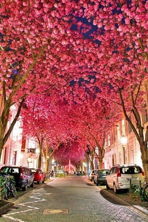 樱桃 Blossom Avenue in Bonn, Germany