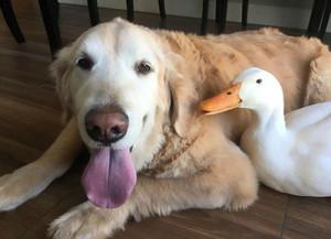 Dog and 오리