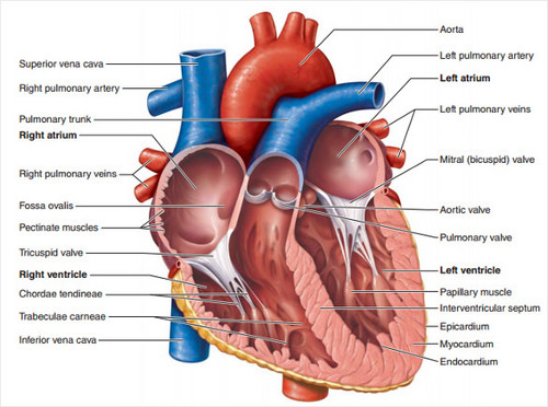 Science wallpaper entitled Heart Diagram