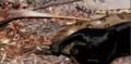 Jungle Cat - classic-disney photo