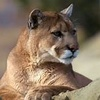 National Geographic Foto titled Mountain Lion