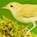 Nightingales  - animals icon
