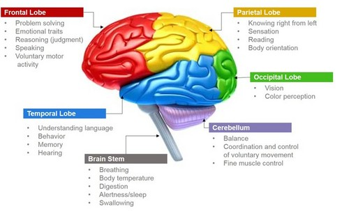 Science 壁纸 called Parts of Brain and Its Functions