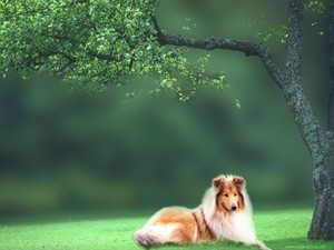 Rough Collie, wolpeyper
