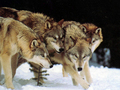 Wolf  Pack - wolves photo