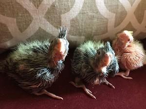 Baby Birds   My Cockatiels