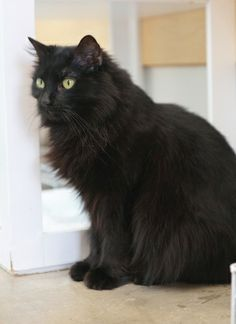 Beautiful Long-Haired Black Cat