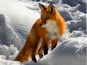 Beautiful Red cáo, fox