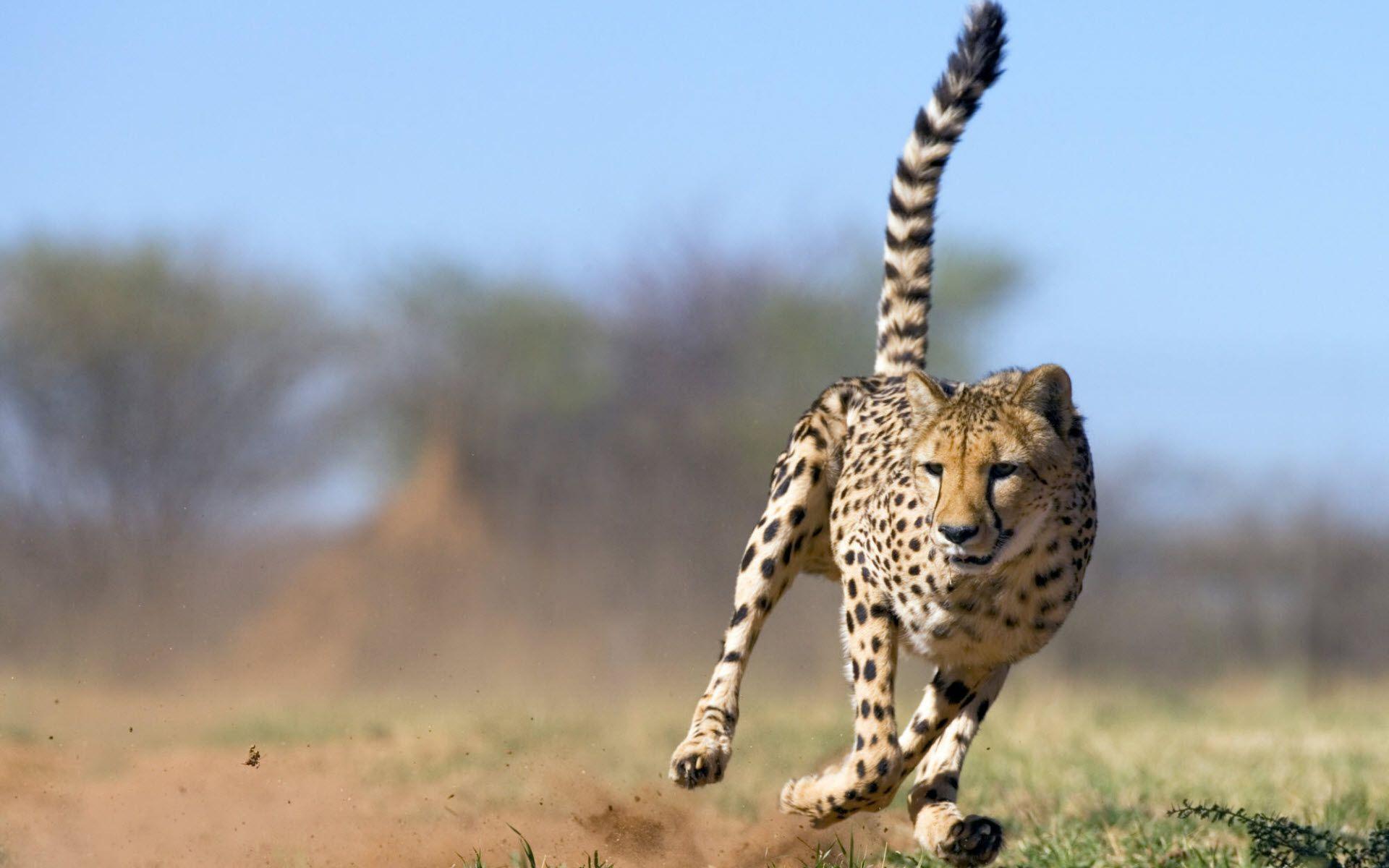 Cheetah - Big kucing wallpaper (40609285) - fanpop