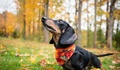 Dachshund - dogs photo