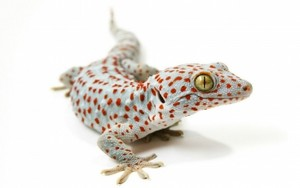 con tắc kè, gecko