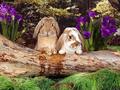 Lop Eared Rabbits - bunny-rabbits wallpaper