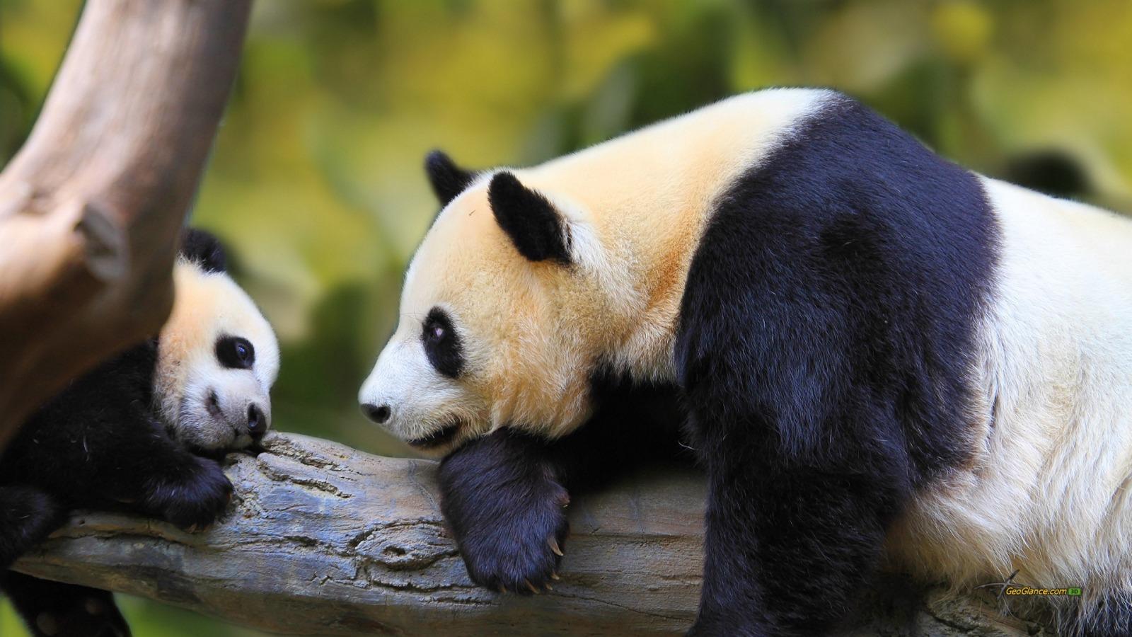 壁纸 大熊猫 动物 1600_900