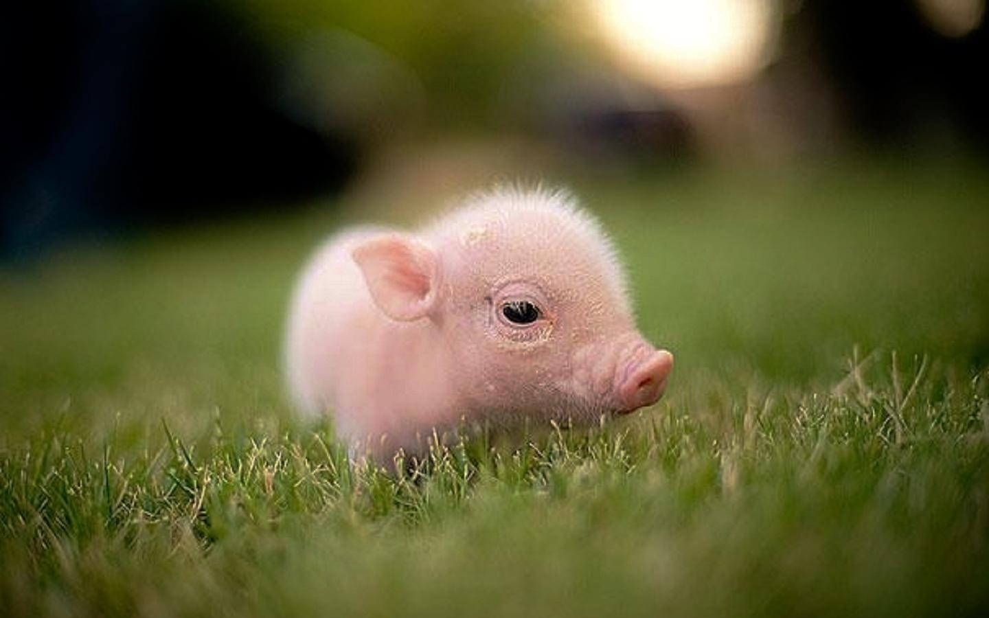 Pigs Images Piglet HD Wallpaper And Background Photos