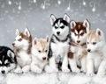 Siberian Husky Pups - dogs photo