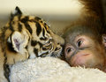Tiger and Orangutan - baby-animals photo