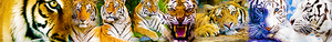 Tiger banner suggestion
