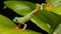 Tree Frog - frogs wallpaper