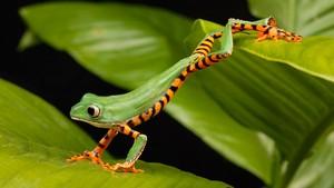 树 Frog