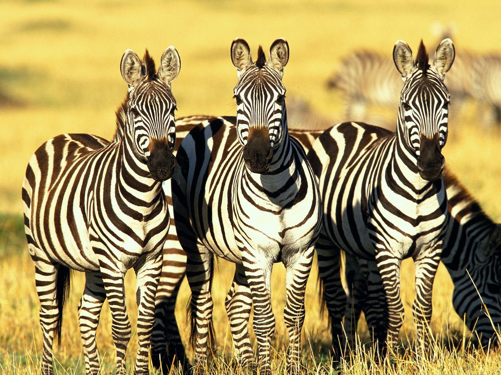 Resultado de imagen para zebras wallpaper