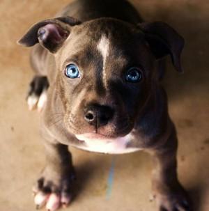 adorable pit ブル 子犬