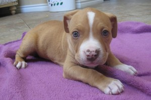 adorable pit bull puppies